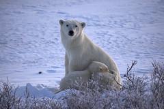 The Protector (acastellano) Tags: bear morning snow canada nature topf25 cub wildlife mother manitoba explore polarbear churchill polar hudsonbay interestingness198 specanimal top20wintertime