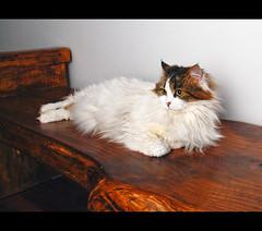 She thinks I bought this bench for her... (LinoPhilippe) Tags: chile santiago cats cat nikon kitten feline chat kitty gatos gato felino katze nikkor gatto katzen kot matou chatte chaton  d60  hauskatze  felidi 1855mmf3556gvr catnipaddicts