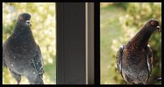 (Alexandra Timpau) Tags: birds pigeons dirtywindow cluj d40