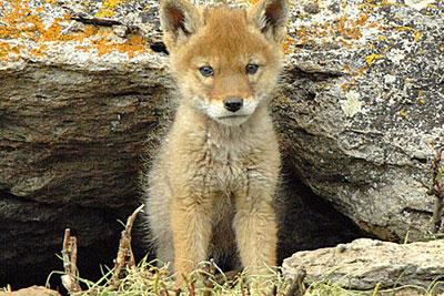 coyote cub