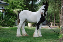 Jude at 9 months old (The Pelton Vanners Gypsy Vanner Horses) Tags: horse gypsy stallion foal gypsyvanner gypsyhorse gypsycob thepeltonvanners