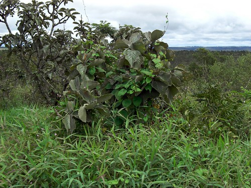 Lobeira tree