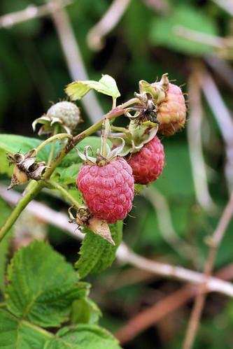 raspberries 3404 R