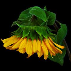 Summer comes* (nene-ane(ON - OFF)) Tags: black flower oa onblack thedantecircle selectbestfavorites