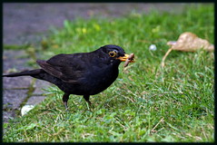 Merel having lunch (eric_bartman) Tags: nature animal animals canon funny outdoor natuur dieren blackbird merel 55250
