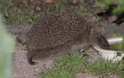 Adult Hedgehog Drinking