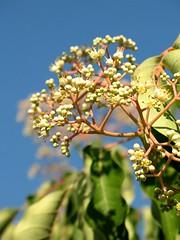 (Tölgyesi Kata) Tags: euodiadaniellii mézesfa botanikuskert botanicalgarden withcanonpowershota620 tuzsonjánosbotanikuskert nyíregyháza tetradium beebeetree rutaceae stinkeschen