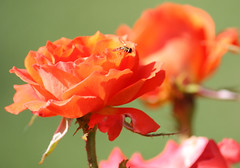 Orange rose and bug