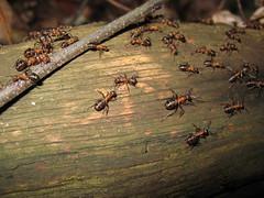 Wood ants (Bookmart) Tags: wood ant ants formica rufa formicarufa swalmen woodants