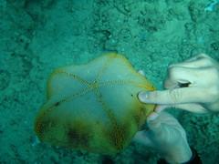 Big starfish souvenir