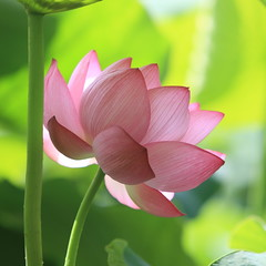 Happy Blooming! (Apricot Cafe) Tags: pink flower green japan naturesfinest tokyo canonef70200mmf28lisusm abigfave superaplus aplusphoto supereco yakushiikepark platinumheartaward lotus excellentsflowers nelumbonucifera