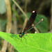 Ebony Jewelwing, Knox Co