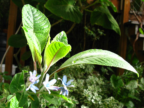Tweedia caerulea + Fuchsia boliviana