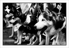 SIBERIAN (PIXELMAO) Tags: friends pets black amigos dogs animals colombia bogota group huskies bn perros siberian mascotas facebook unicos paruqenacional siberianos vanagram flickraward grupofacebook