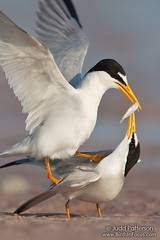 Least Tern courtship (Judd Patterson) Tags: beach florida mating stockphotography leasttern avianexcellence juddpatterson alemdagqualityonlyclub