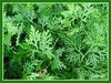 Selaginella plana (Paku Merak in Malay language), a medicinal herb