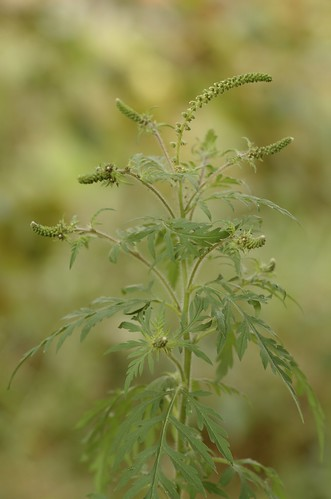 Ambrosia artemisiifolia | Alsemambrosia - Common ragweed
