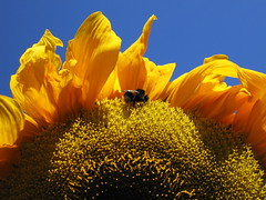sunflower & bee (digimatters) Tags: summer flower nature yellow canon happy warm peace sunny bluesky bee sunflower s60 cheerfull