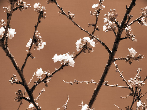 Cherry Blossoms by katiealley on Flickr
