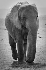 Elephant (Ugo Cei) Tags: africa travel wild elephant southafrica addo nikon wildlife reserve safari elephants za 2009 easterncape rsa d60 addoelephantnationalpark nikond60 nikkor55200mmvr