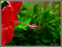 Hibiscus (Rajasekar Photography) Tags: hibiscus sembaruthi hibiscuswonder