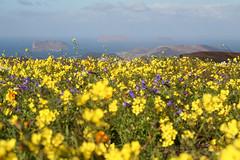 Islotes desde Mtña de Gayo Haría Ene09 LZ 2 (lanzarote rural) Tags: clara españa naturaleza flor lanzarote canarias amarillo montaña islas chinijo graciosa alegranza archipiélago islotes