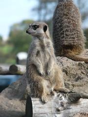 Meerkat (Sunset_27) Tags: zoo meerkat