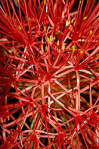 A 10 inch Blood Lily... Geodesic Dome of the plant world