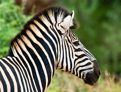 Stripes (Marc_Scott-Parkin) Tags: zebra kruger