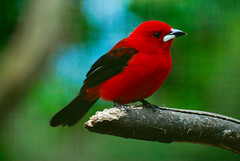 Super Red (Daniel Pascoal) Tags: red black bird passarinho pssaro preto vermelho tisangue ramphocelusbresilius braziliantanager