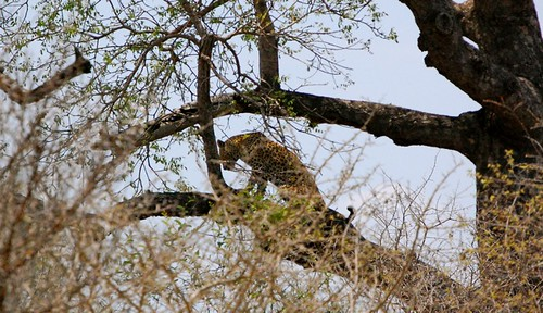 leopard in the tree
