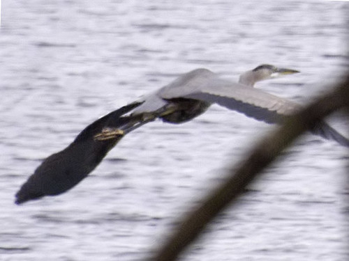 heron fleeing lake cochituate