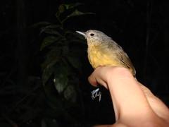 Myrmotherula grisea DFL Puno PE 6-07 (barbetboy) Tags: fbwnewbird fbwadded myrmotherula ashyantwren myrmotherulagrisea