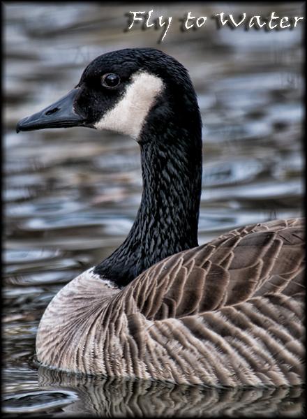 Canadian Goose Portrait
