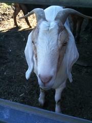 Hello, goat!