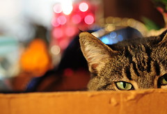 bokeh baby (anniedaisybaby) Tags: christmas decorations pet baby holiday colour macro closeup cat feline bokeh tabby cateyes beloved cardboardbox thelittledoglaughed impressedbeauty velvetpaws magicunicornverybest killroywasherem1a1jon