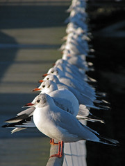 A Rail of Seagulls (The Image Den) Tags: seagulls birds wildlife hampshire solent hythe southamptonwater