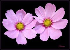 Cosmos (EdwinaFran) Tags: pink flowers summer flower garden cosmos excellentsflowers 100commentgroup saariysqualitypictures edwinafran mixofflowers