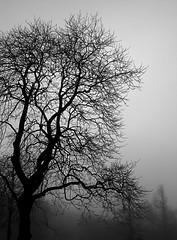 Trees and Fog 4BW (Carl_Reid) Tags: trees blackandwhite fog freezing ghostly southport