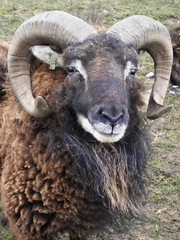 sheep horns ram