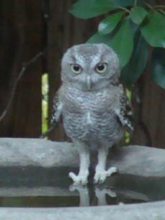Juvenile Eastern Screech-Owl