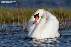 Mute Swan, Cygnus olor (Nigel Blake, 13 MILLION...Yay! Many thanks!) Tags: bird birds swan waterfowl mute muteswan cygnusolor cygnus olor birdphotography nigelblake nigelblakephotography