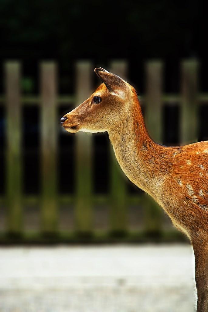 A Deer at Kasuga-Taisha Shrine