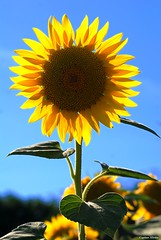Portrait of a sunflower (Capitan Mirino ( il Tartarughino )) Tags: blue sky flower nature yellow blu natura giallo cielo sunflower fiore girasole colorannogiugno