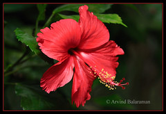 Hibiscus (Arvind Balaraman) Tags: ocean red orange white plant flower floral beauty forest scarlet garden island hawaii spain pretty shoot blossom five background petal growth hibiscus gift jungle hedge stamen tropical present bloom masked aloha tropics stigma radiant isolated gentle carmine