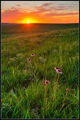 Land of Sunsets (Judd Patterson) Tags: sunset echinacea unitedstatesofamerica kansas coneflower prairie tallgrass flinthills stockphotography tallgrassprairienationalpreserve juddpatterson blacksampson