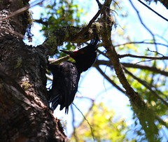 Magellanic Woodpecker (Podoces) Tags: woodpecker campephilus campephilusmagellanicus magellanicwoodpecker