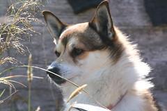 Vrytreffet 2009 - dag 5 - Mstad (Lundtola) Tags: dogs lundehund hunder mstad vry puffindog varoy mostad vry2009 varoy2009