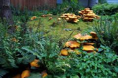 mushroom on moss with ferns (a-birdie) Tags: mushroom moss oak jackolantern stump newlebanon omphalotus
