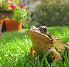 Enjoying the garden (tad2106) Tags: green nature grass animal garden eyes backyard bokeh amphibian frog frogs creature bugeyed pondlife wtmwchallengewinner